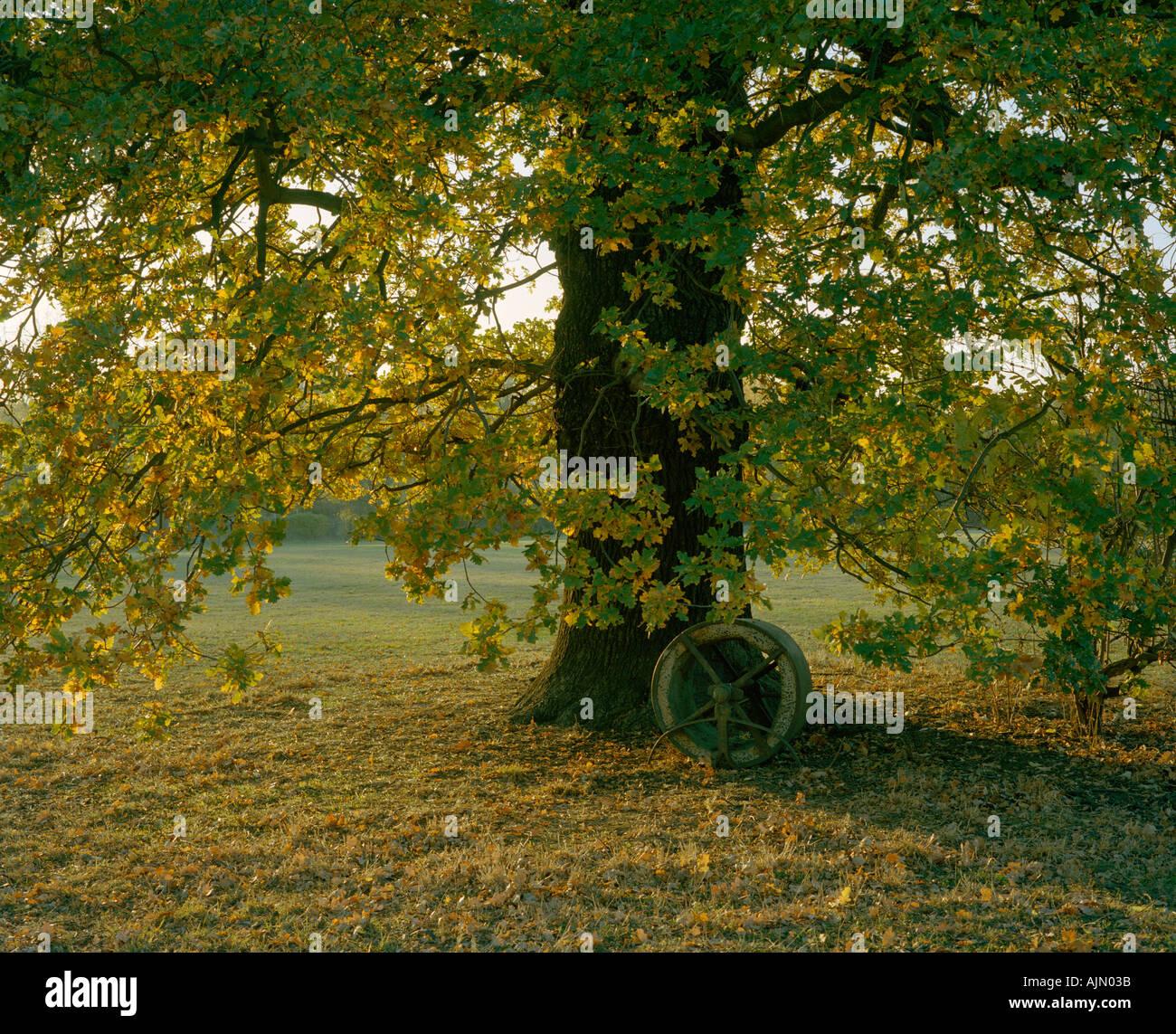 Rodillo de pasto bajo el árbol de roble cerca de cricket pitch a principios de otoño Foto de stock