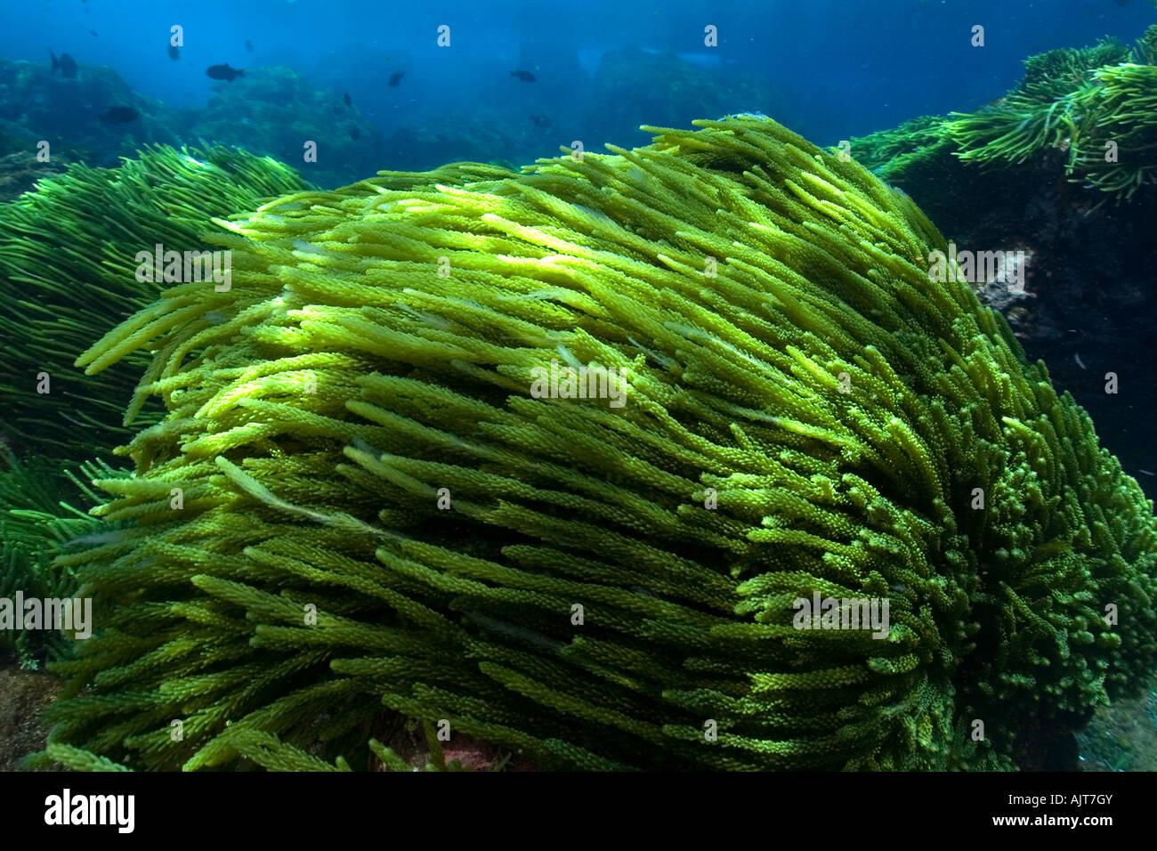 El alga verde Caulerpa racemosa San Pedro y san Pablo, Brasil rocas Océano Atlántico Imagen De Stock