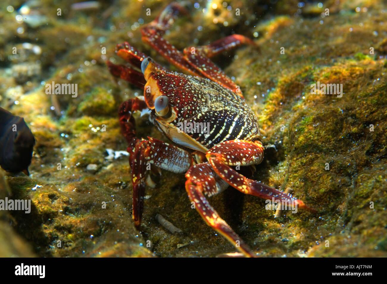 Cangrejo Grapsus grapsus de roca roja de San Pedro y san Pablo, Brasil rocas Océano Atlántico Foto de stock