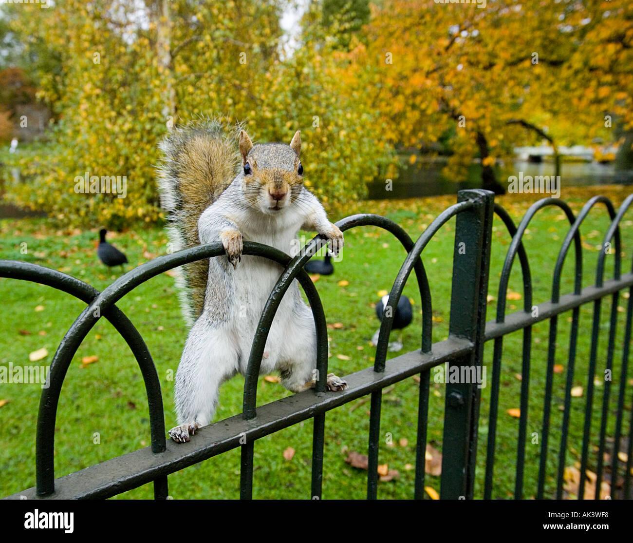 Ardilla gris en St James Park, Londres, Gran Bretaña. Imagen De Stock