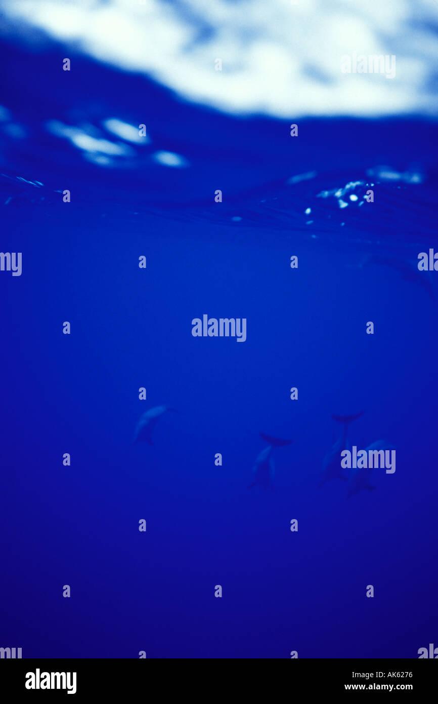 Niue, Delfines de underwater Imagen De Stock