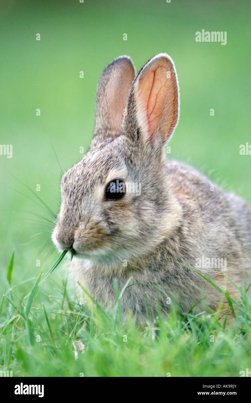Cottontail Rabbit Vertical oriental Imagen De Stock