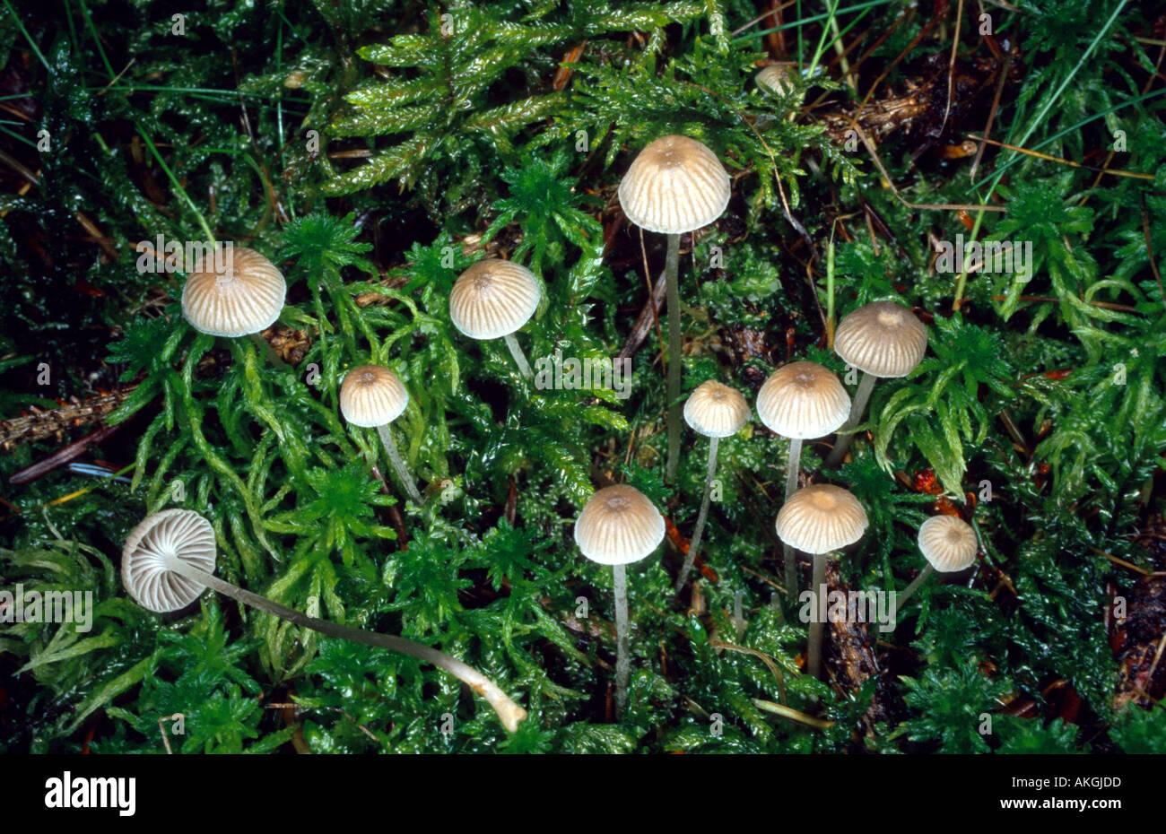 Mealy capot (Mycena cinerella), grupo entre la turba, Alemania Foto de stock