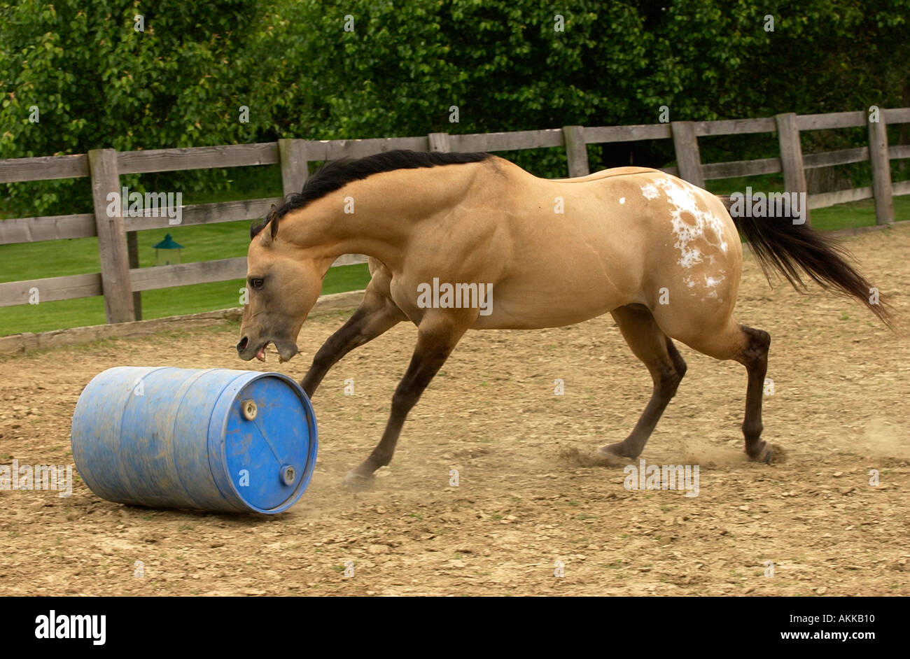 Semental Appaloosa Buckskin Corriendo Y Jugando Con El Cuerpo Y La Bola Fotografia De Stock Alamy