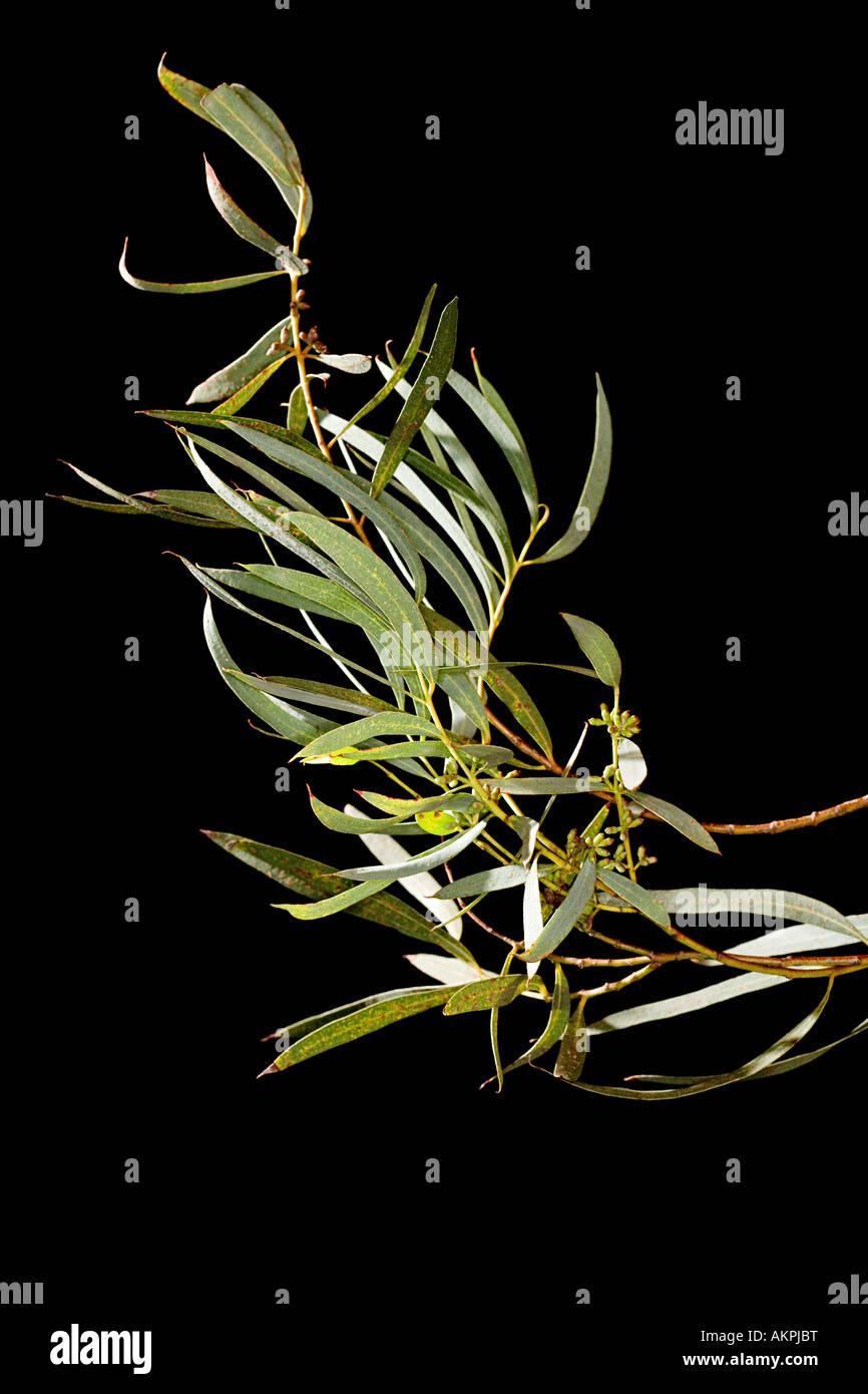 Hojas de eucalipto Imagen De Stock