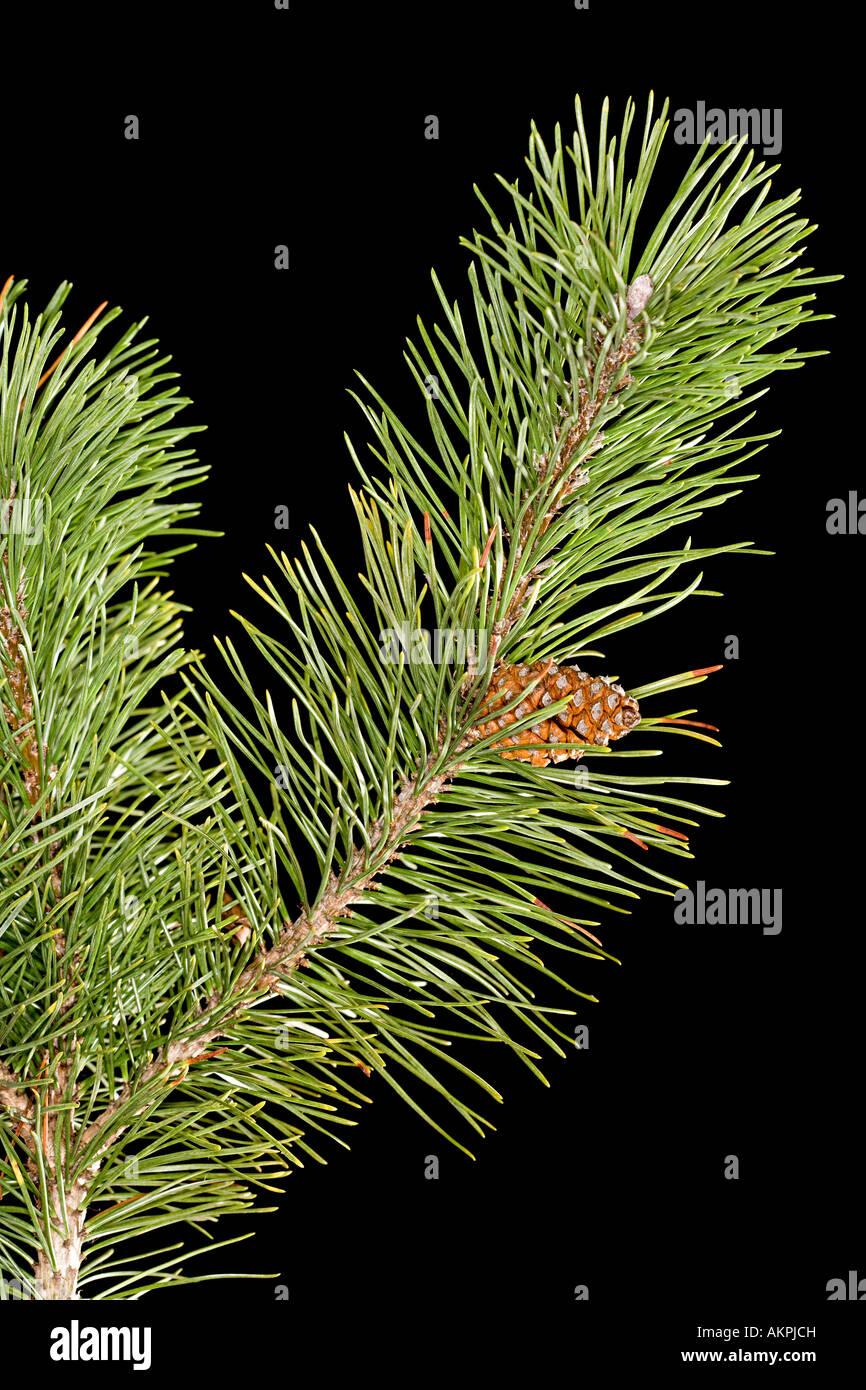 Rama de pino Foto de stock