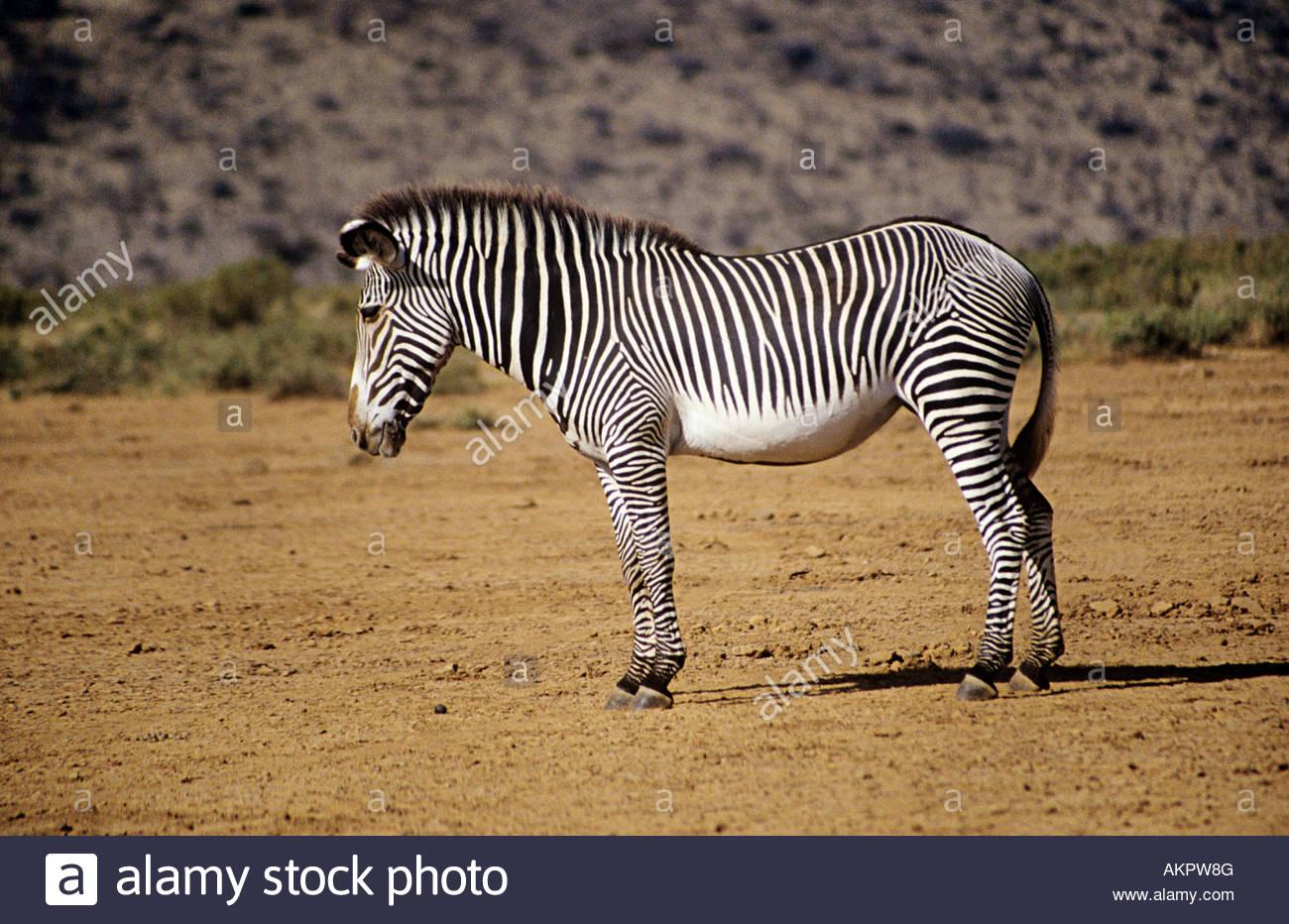 Cebra de Grevy Imagen De Stock