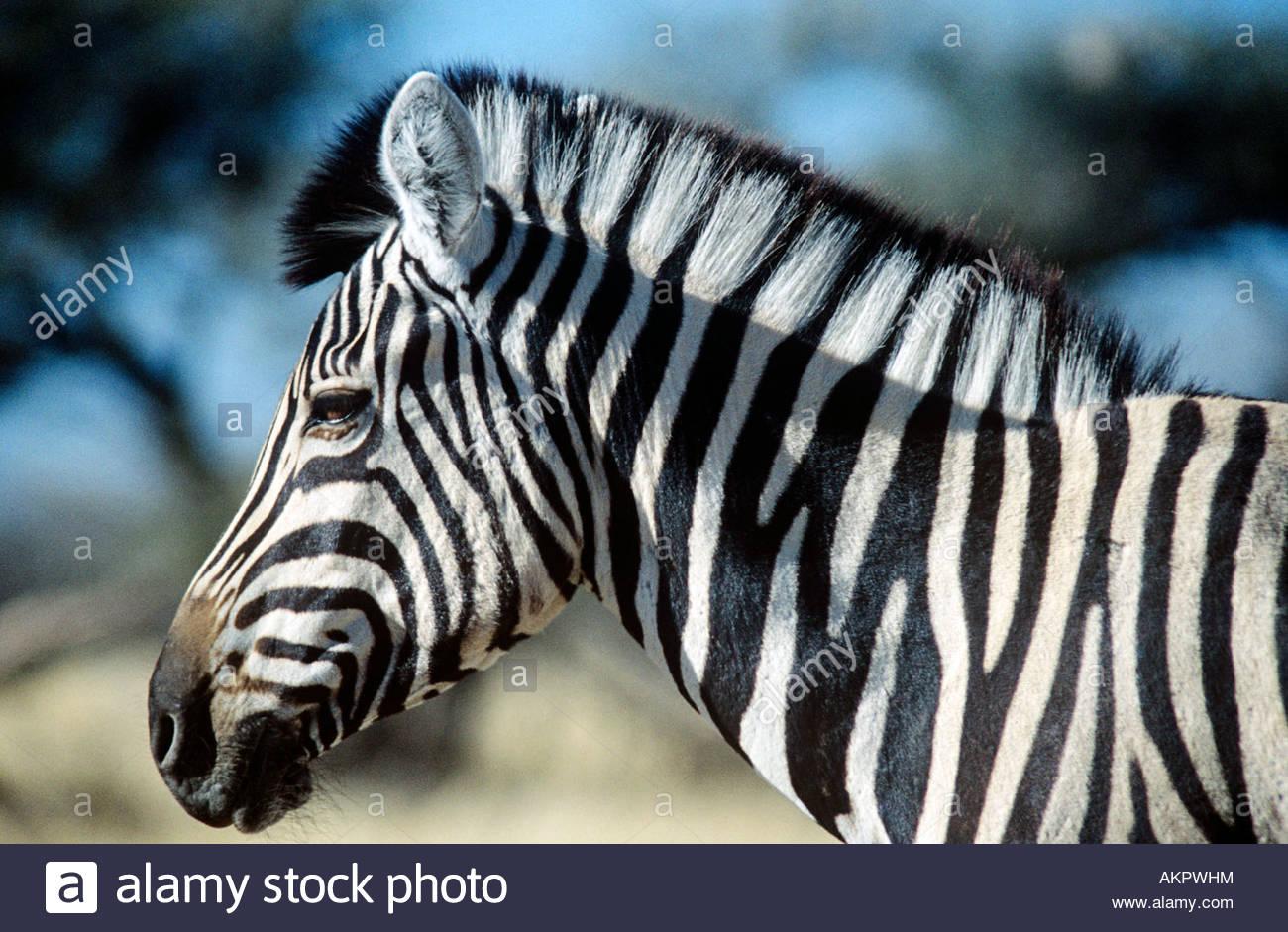 Cebra Imagen De Stock