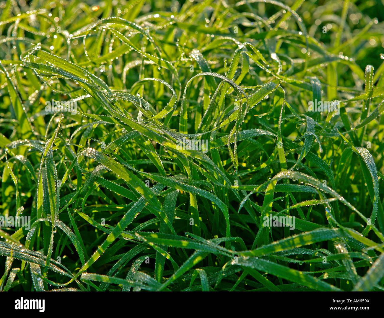Briznas de hierba con gotas de rocío Imagen De Stock