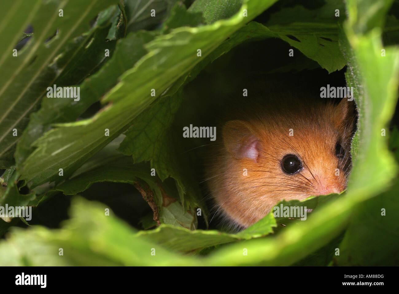 (Muscardinus avellanarius Hazel lirón) Foto de stock