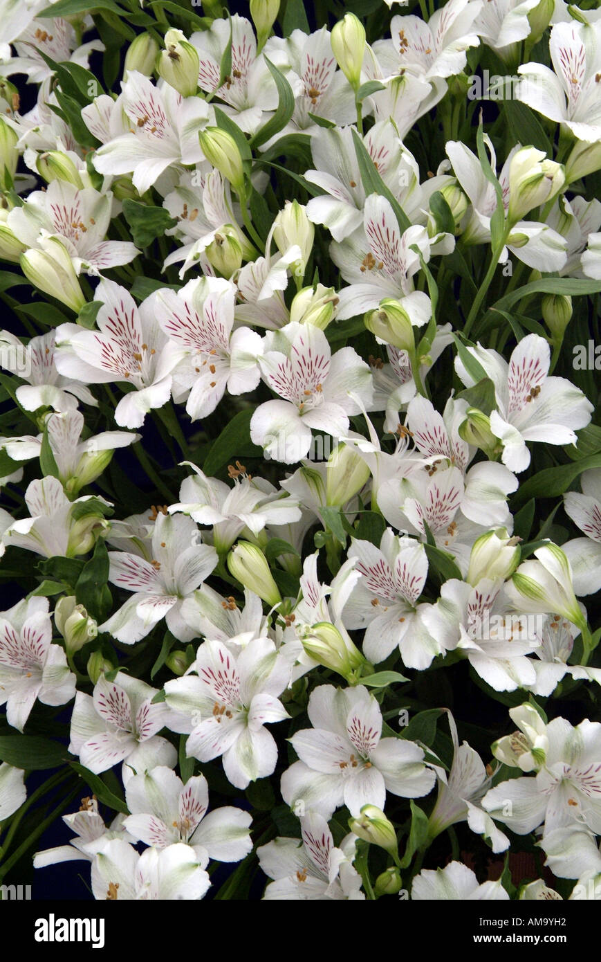 Alstroemeria Virginia lirio peruano jefe bloom macetas de pétalos de colores pastel tropicales exóticos gases invernadero cultiva bombilla Foto de stock