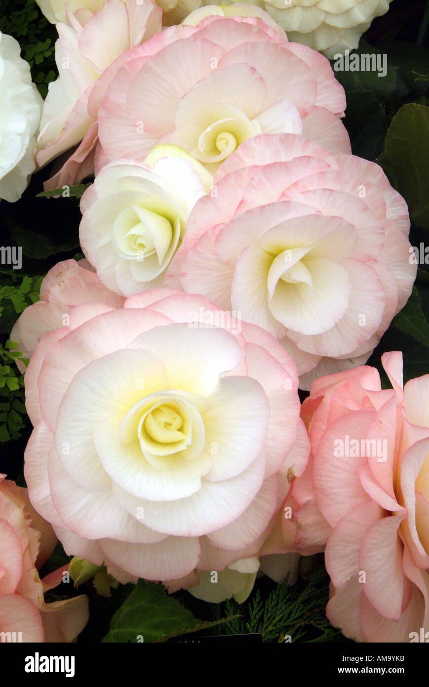 Begonia jefe bloom pétalo pastel tropical exótica maceta bulbo rizoma tuberosa rizó gases invernadero cultivados Foto de stock