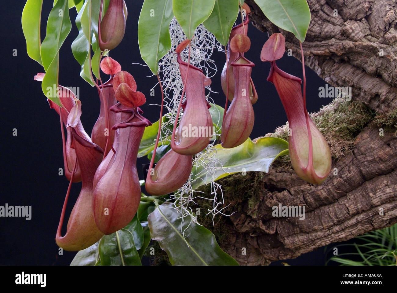 Sarracenia purpurea cántaro planta insectívora insecto flor americaTropical norte comer comer carnívoro exótico carnívoros. Foto de stock