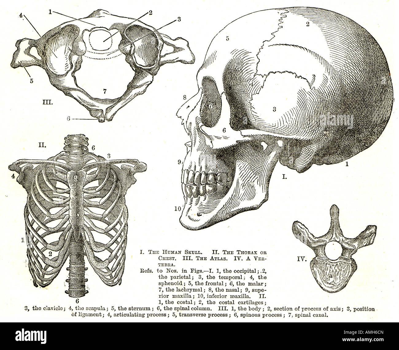Cráneo Caja torácica Tórax pecho vértebra atlas torso superior ...