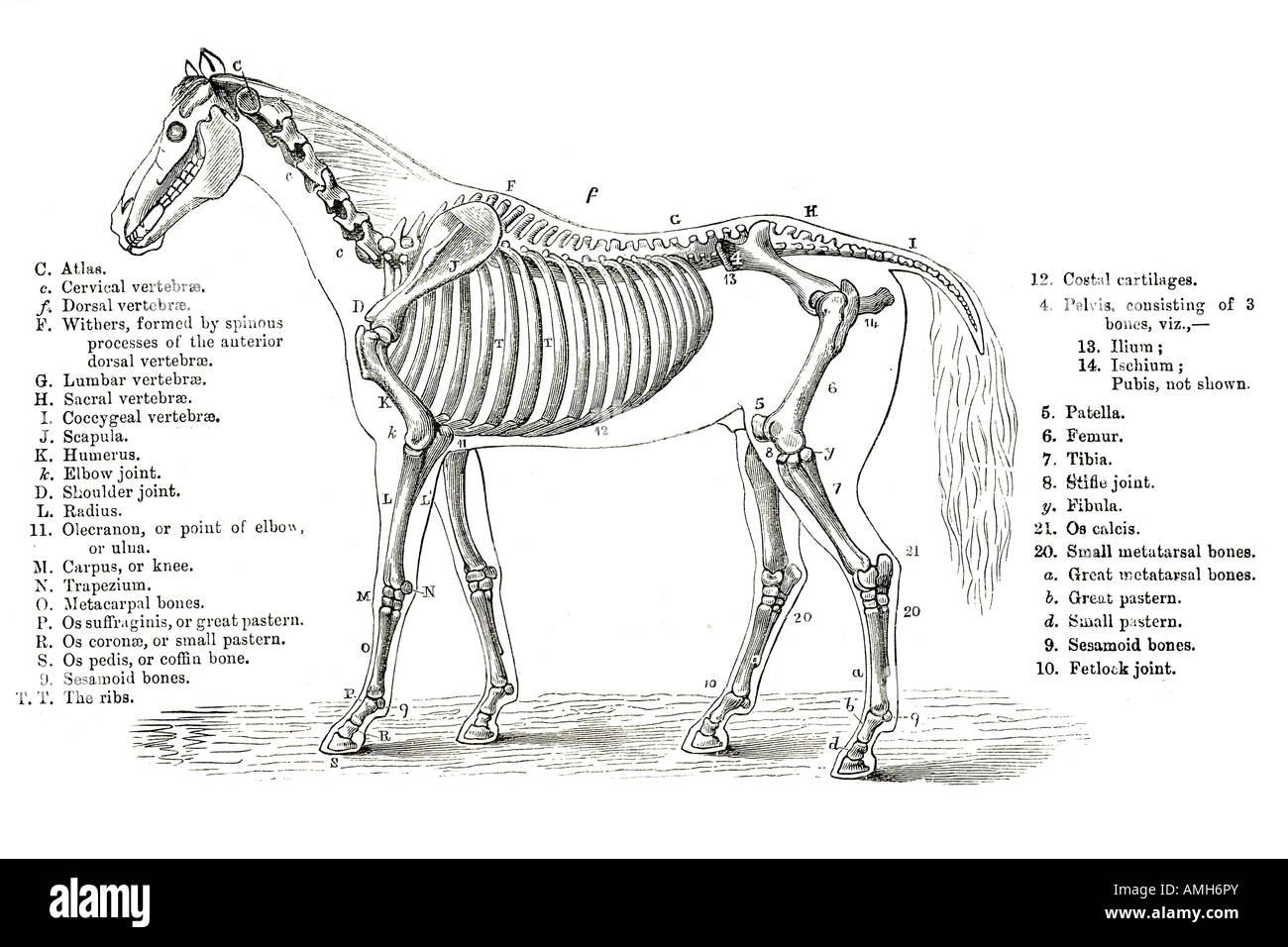 Caballo esquelético esqueleto óseo de sección transversal gráfico ...