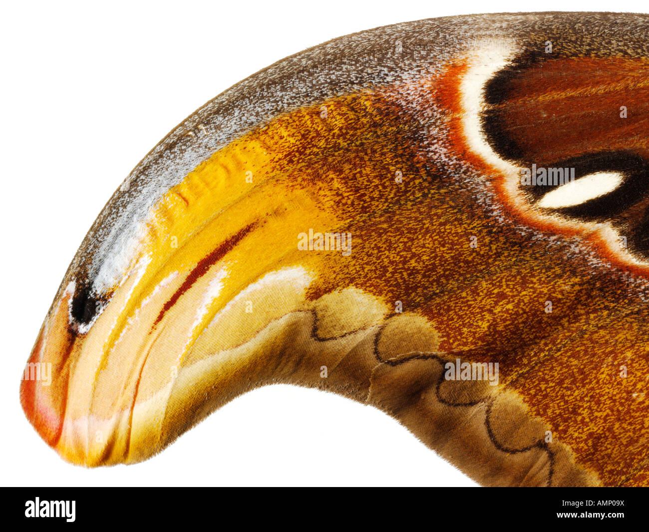 Un primerísimo plano de un Emperador polillas wing mostrando en detalle las texturas naturales y patrones. Imagen De Stock