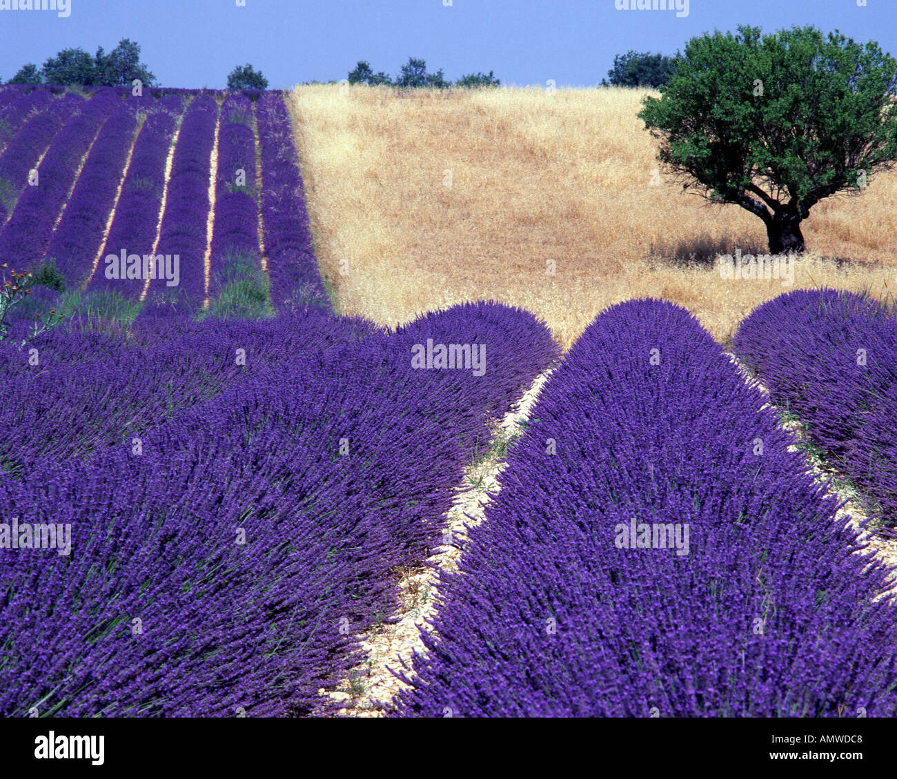 FR - Alpes-de-HAUTE-Provence: Campo de lavanda y árbol en la meseta de Valensole cerca Puimoisson Imagen De Stock