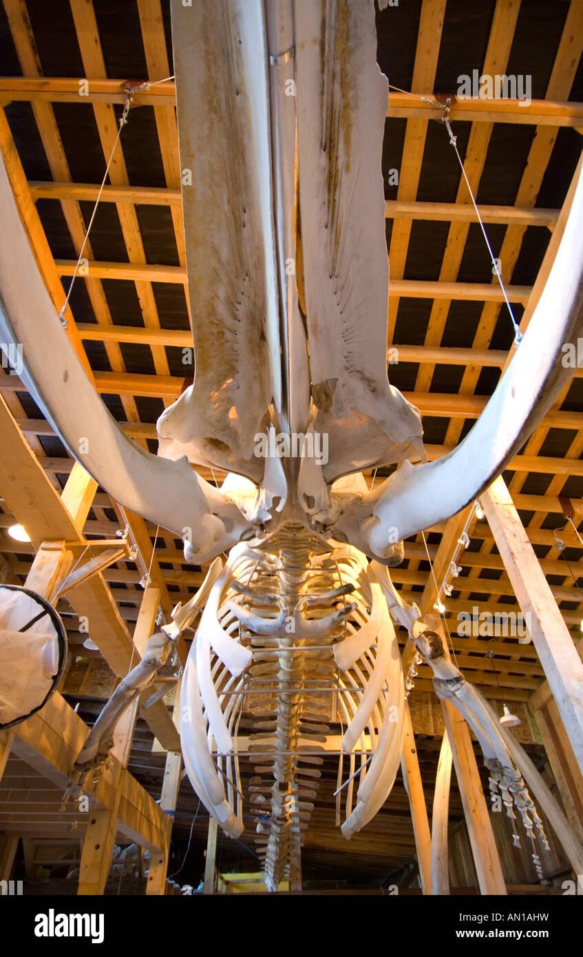 El esqueleto de un rorcual común en el Centro de Interpretación de la Ballena, Telegraph Cove, en la isla de Vancouver, British Columbia Foto de stock