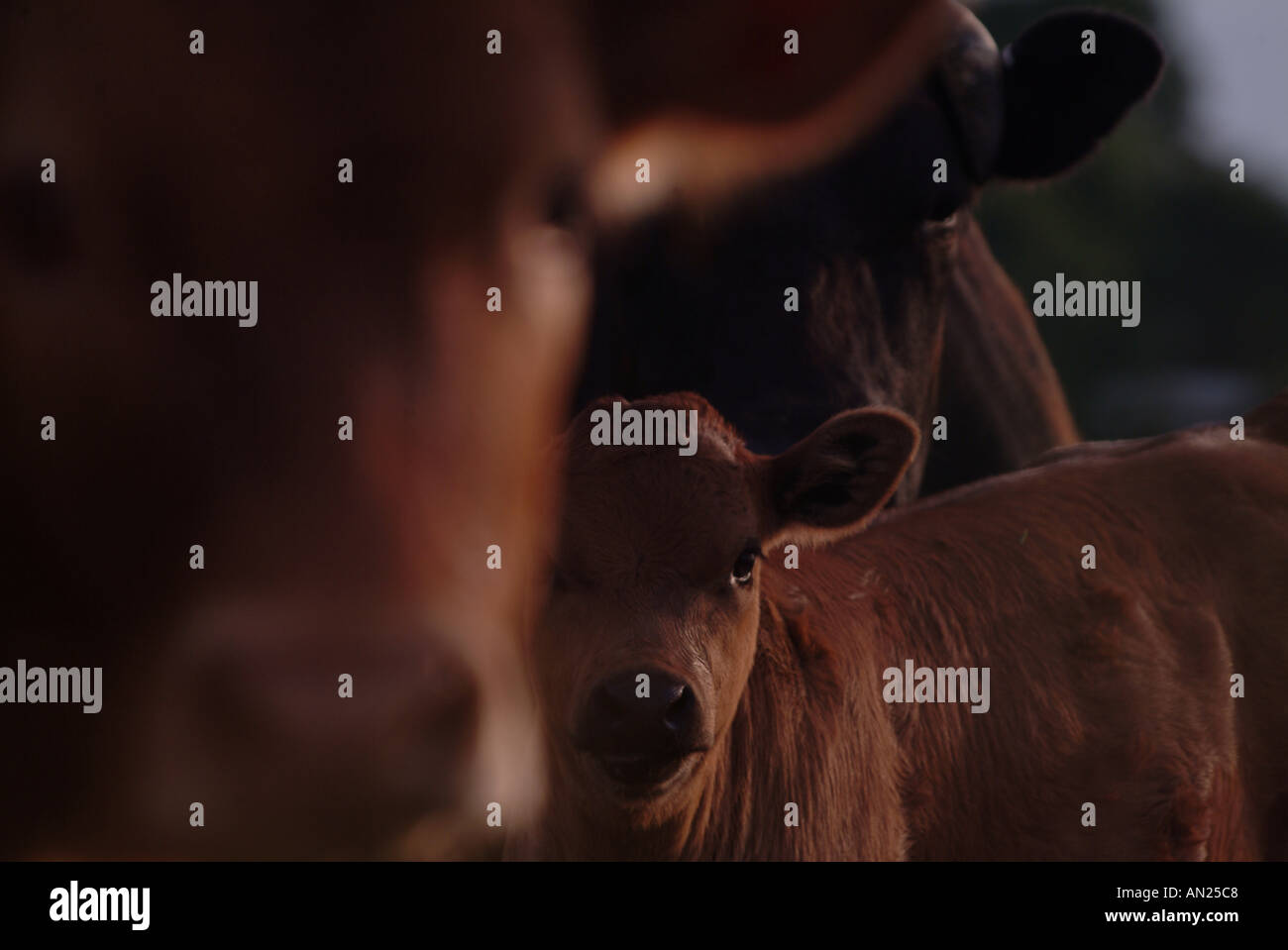 Las vacas me está mirando Foto de stock