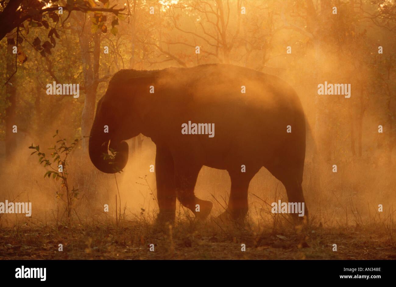 Elefante indio Elephus maximus elefante asiático disfruta de baño de polvo Kahna Parque Nacional India Imagen De Stock