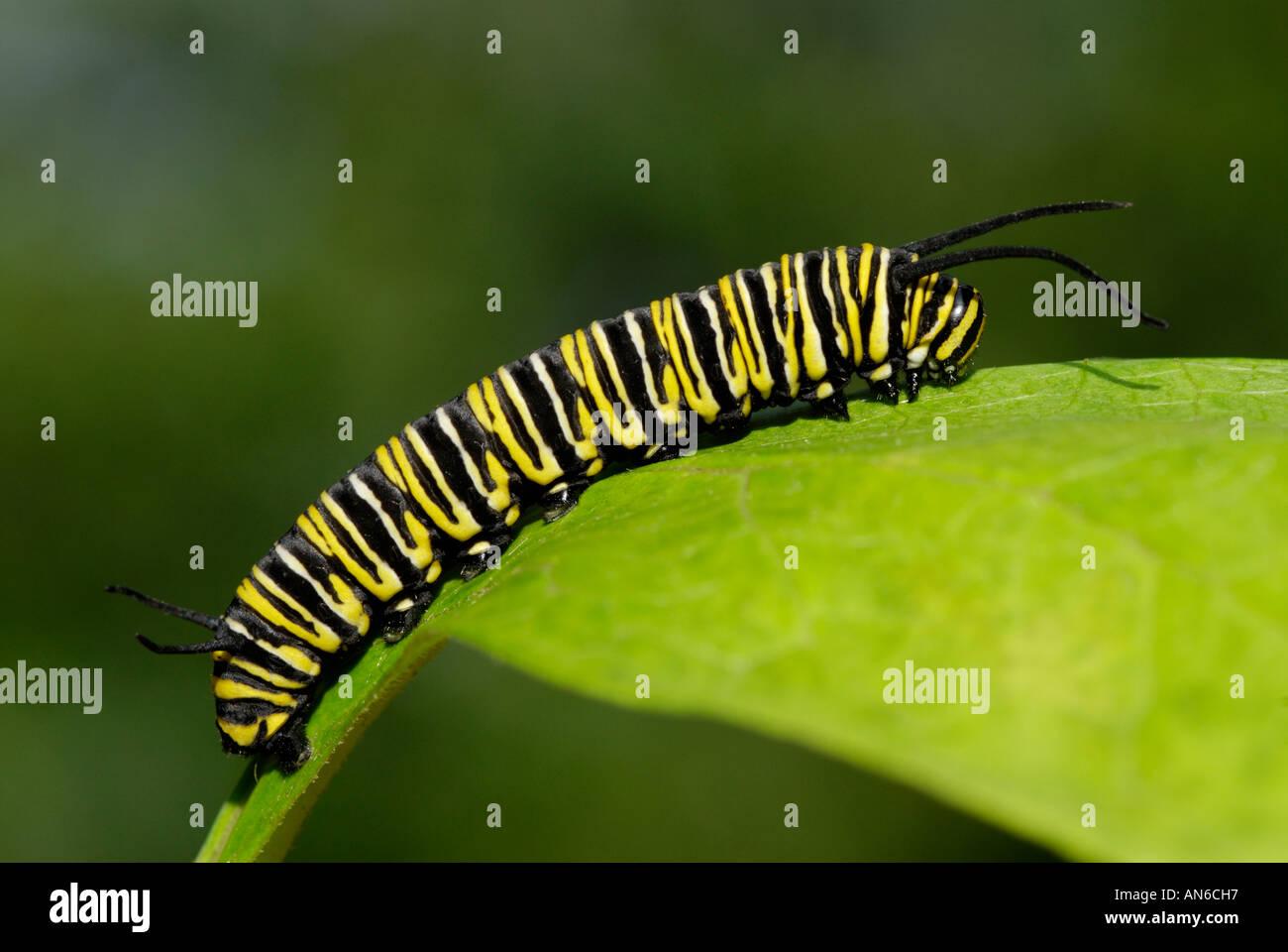 Mariposa Monarca, Danaus plexippus, Caterpillar en un asclepias, Asclepias sp., hoja Foto de stock