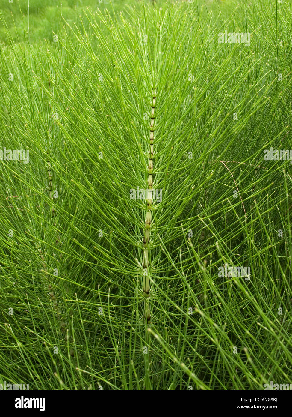 Vista de cerca de una masa de plantas Equiseto o cola de caballo equisetum arvense Foto de stock