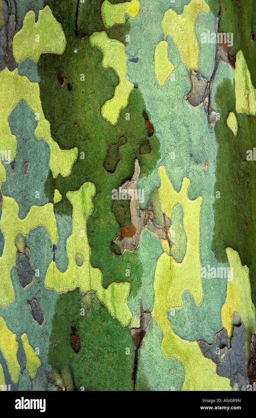 Detalle de la corteza de sicomoro, London, Ontario, Canadá. Foto de stock