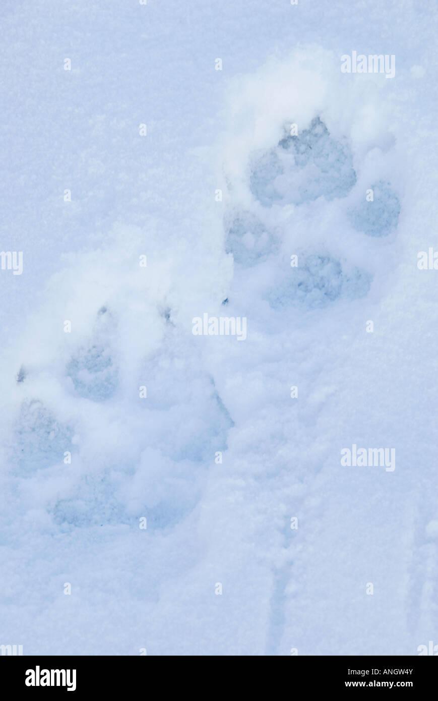 El lobo (Canis lupus) pistas de nieve. Similar al perro doméstico, pero de mayor tamaño. Foreprint 4 1/4 Imagen De Stock
