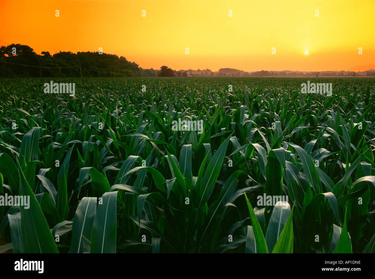Agricultura - mediados de crecimiento pre borla campo de maíz de grano al atardecer con un cortijo en la distancia Imagen De Stock