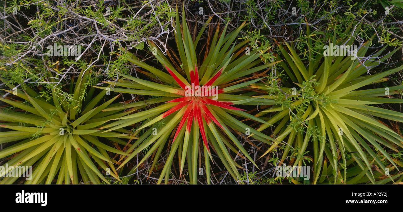 Las Bromelias, Caracueve bromelias, el Refugio de Fauna Silvestre de Cuare, Venezuela, Estados Unidos Imagen De Stock