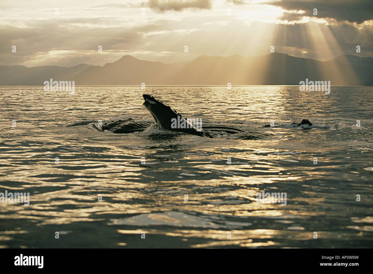 Alimentación Lunge ballena jorobada. Imagen De Stock