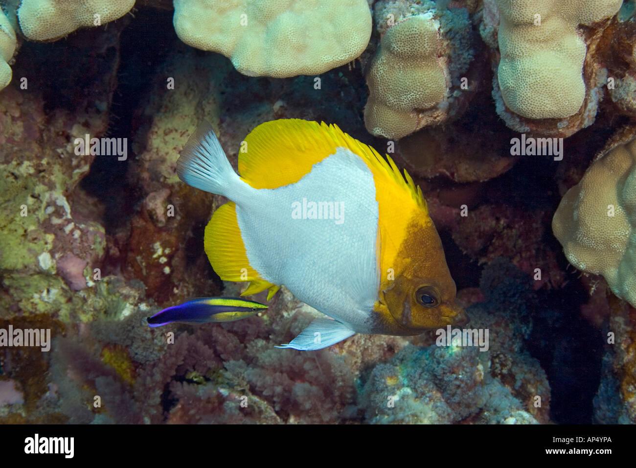 Pirámide, butterflyfish Hemitaurichthys polylepis, y un limpiador de hawaianos endémicos de napoleón, Labroides phthirophagus, Hawai. Foto de stock