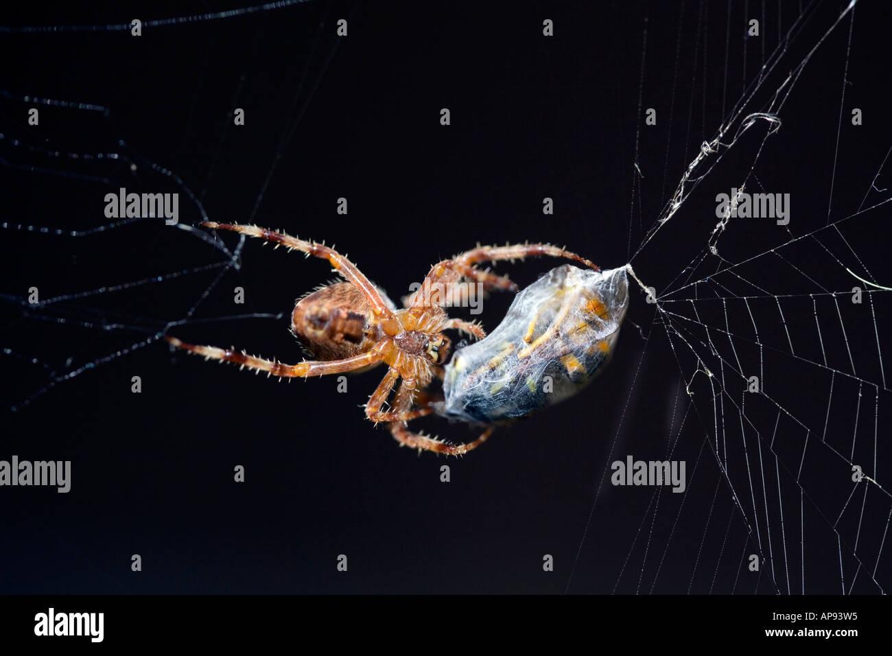 Una araña de jardín europeo con una avispa acabadas listo para comer Imagen De Stock
