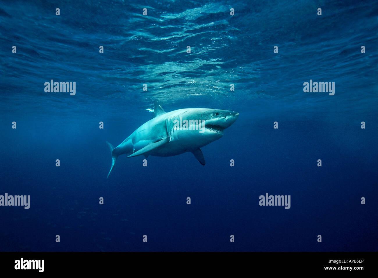 Tiburón Blanco Carcharhodon carcharias Gaudalupe isla del Océano Pacífico Foto de stock