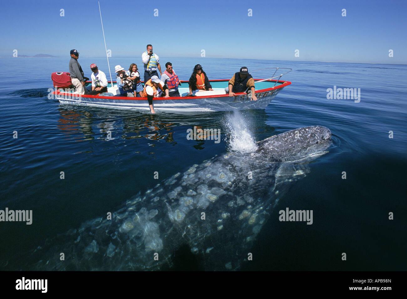 La ballena gris Eschrichtius robustus Imagen De Stock