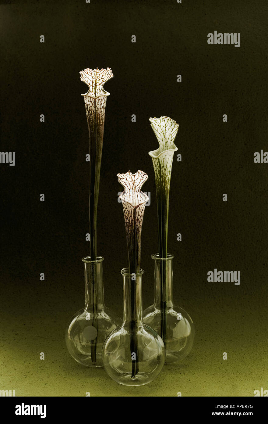 Tres flores fly catcher simple bodegón en matraces de fondo redondo Imagen De Stock