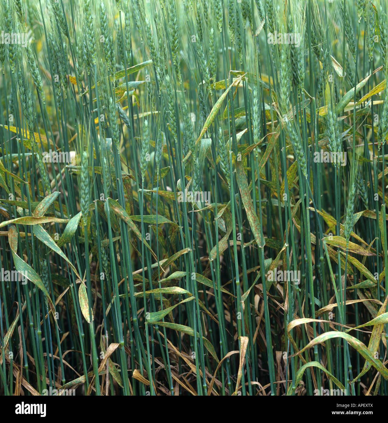 Infección severa del trigo hojas o roya parda Puccinia triticina (recondita) en un barbudo Kansas trigo EE.UU. Foto de stock