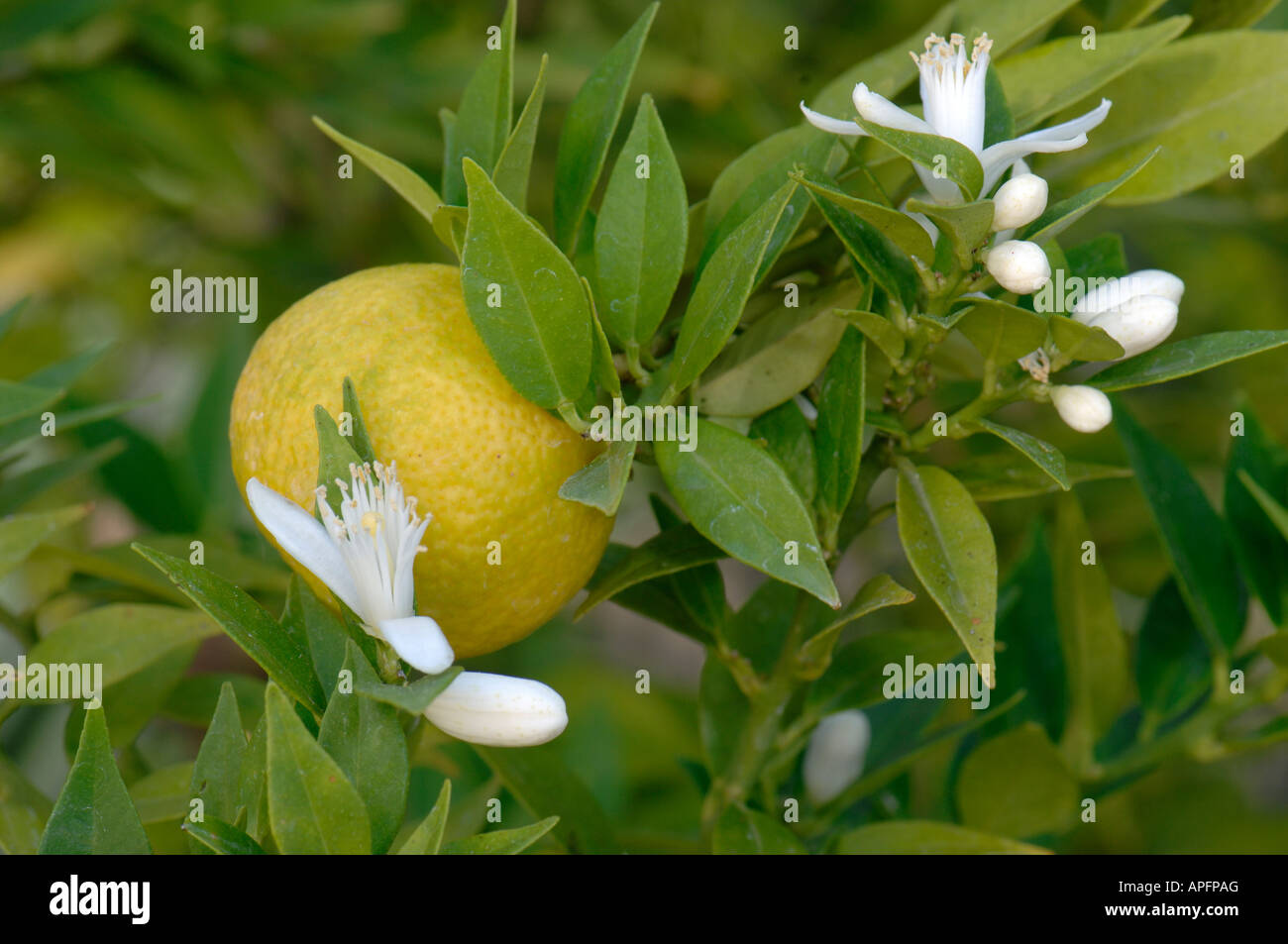 Chinotto orange tree im genes de stock chinotto orange for Frutas ornamentales
