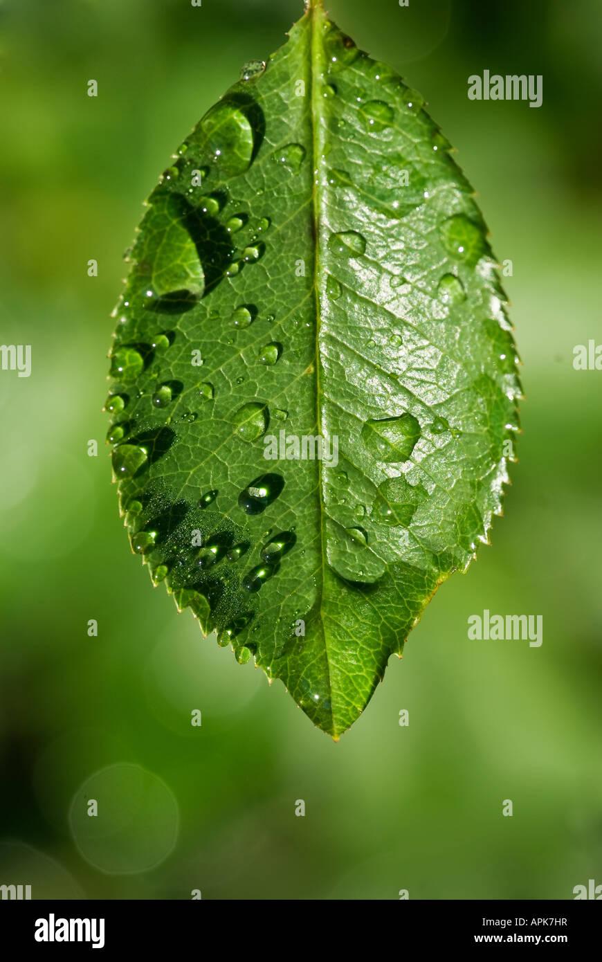 Gotas de agua clara sobre una delicada hoja verde Imagen De Stock