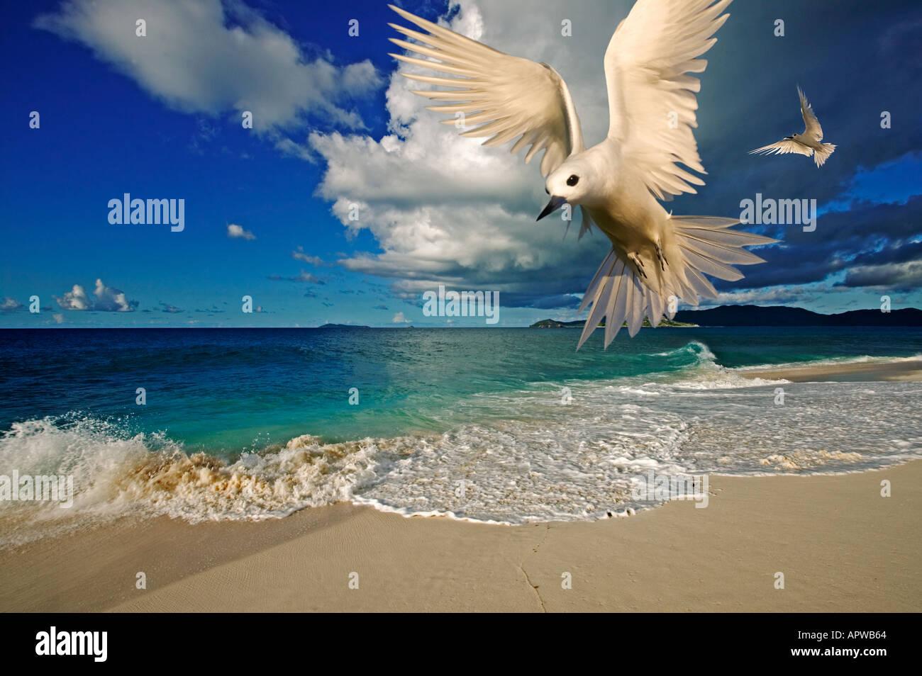 Escena de playa tropical con blanco fairy tern Gygis alba Cousine Island Seychelles digitalmente la imagen modificada Imagen De Stock