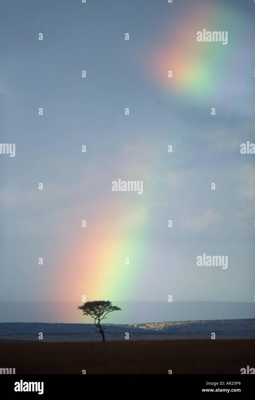 África Kenia la reserva Masai Mara Rainbow formas entre las nubes de lluvia encima de acacia solitaria en la sabana al atardecer Imagen De Stock