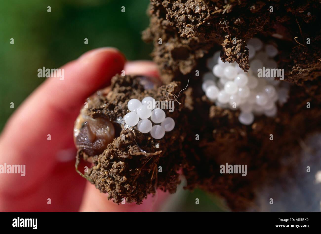 Francia Suroeste de Tarn et Garonne Petit gris caracol y sus blancos diminutos huevos de caracol. Un manjar. Establece unos 100 huevos Imagen De Stock