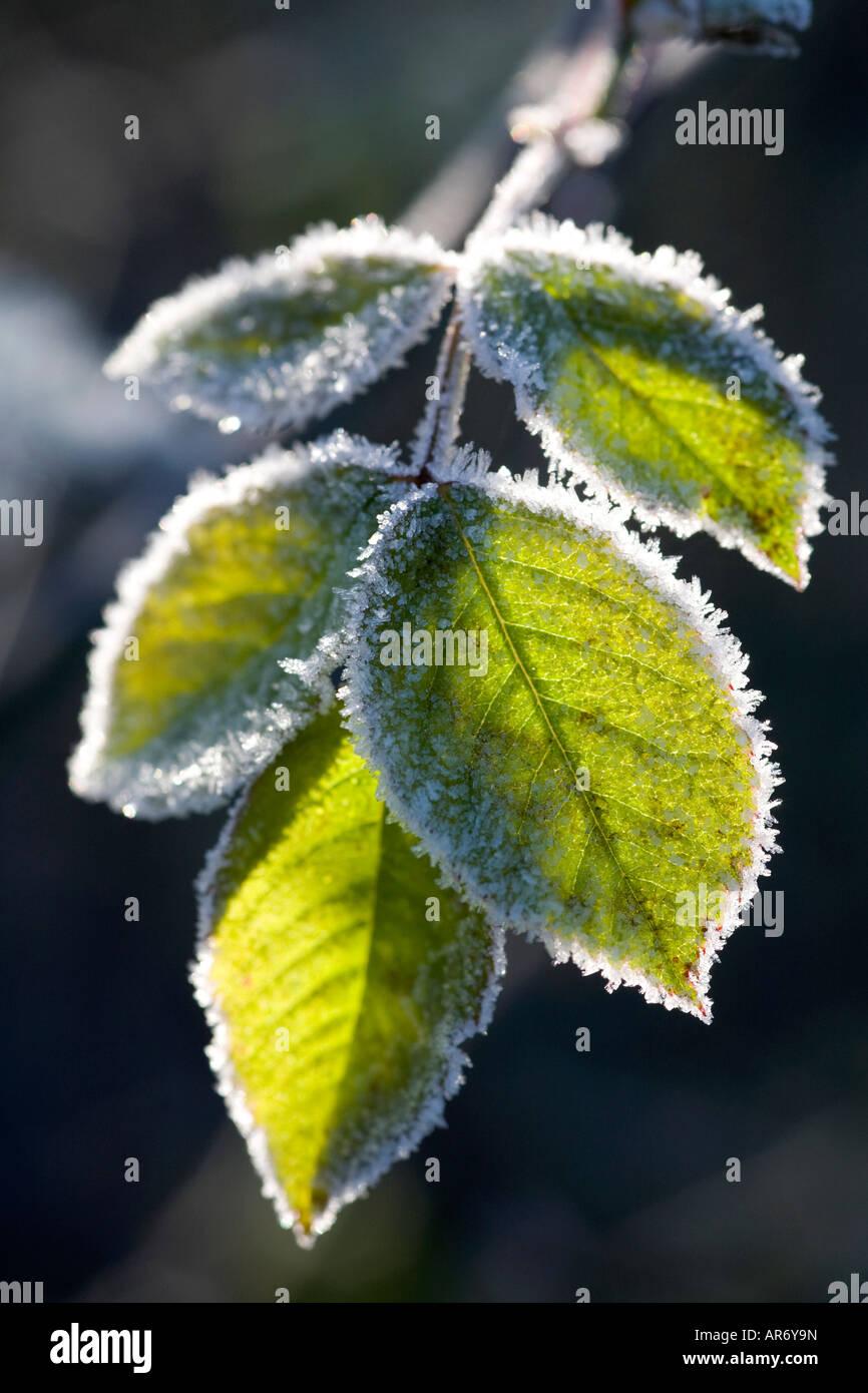 Hoja de Rosa esbozadas en las heladas en un jardín de invierno Imagen De Stock