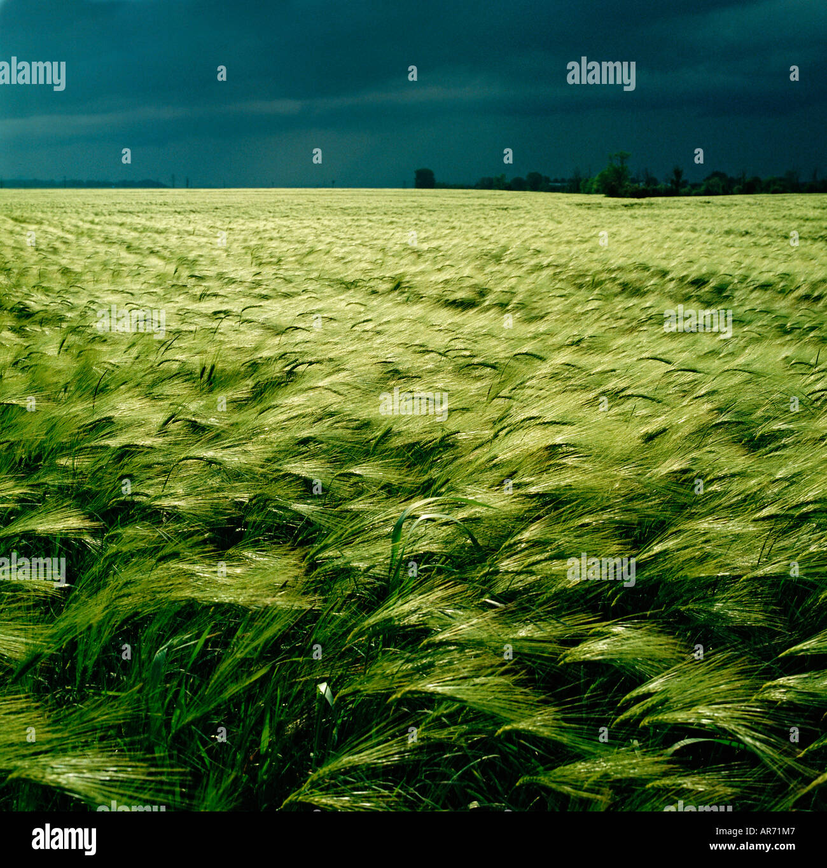 GB WILTSHIRE cielo tormentoso cebada campo cerca de Salisbury Foto de stock