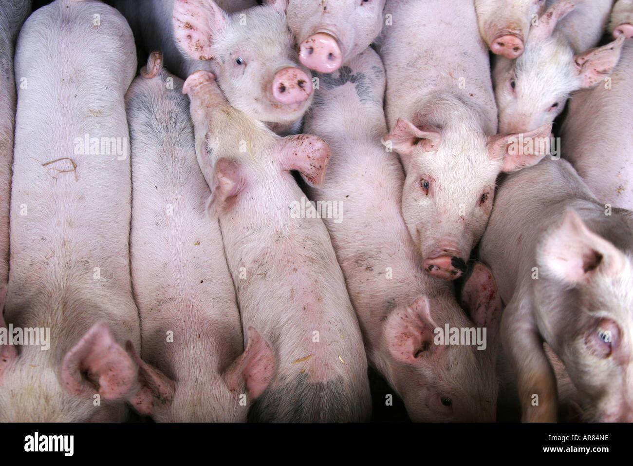 Los cerdos jóvenes apretados juntos. Podría ser un concepto para cuando es un hacinamiento Foto de stock