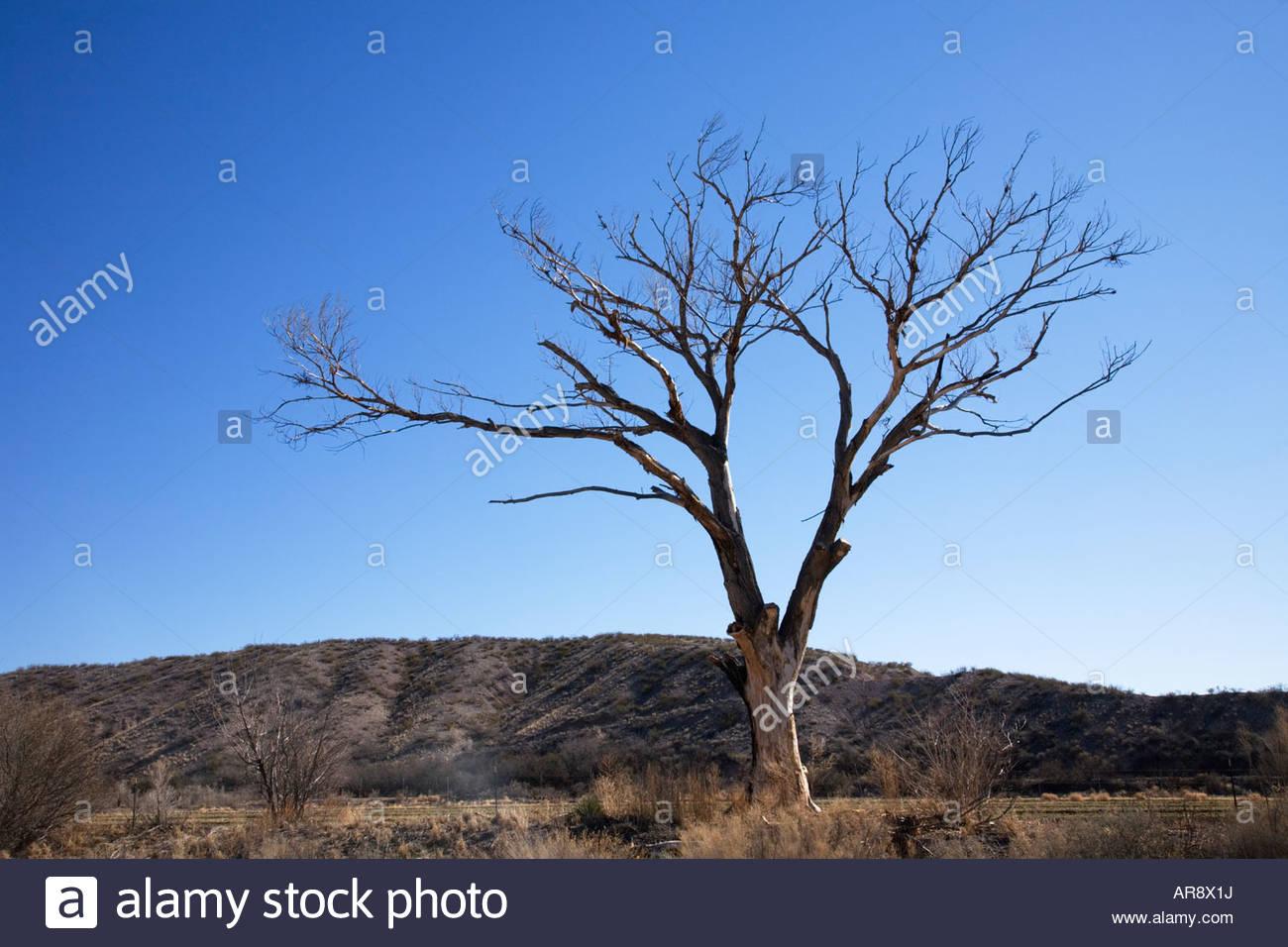 Árbol Muerto cottonwood esbozadas contra el cielo azul Imagen De Stock