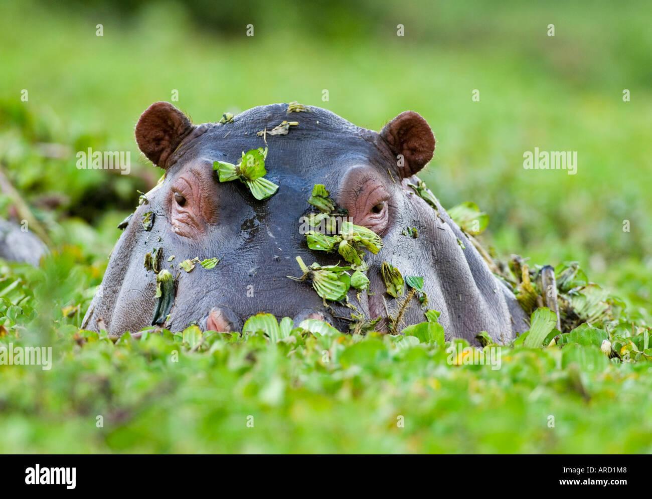 Hipopótamos que emergen de la piscina cubierta de maleza Masai Mara Kenya Imagen De Stock
