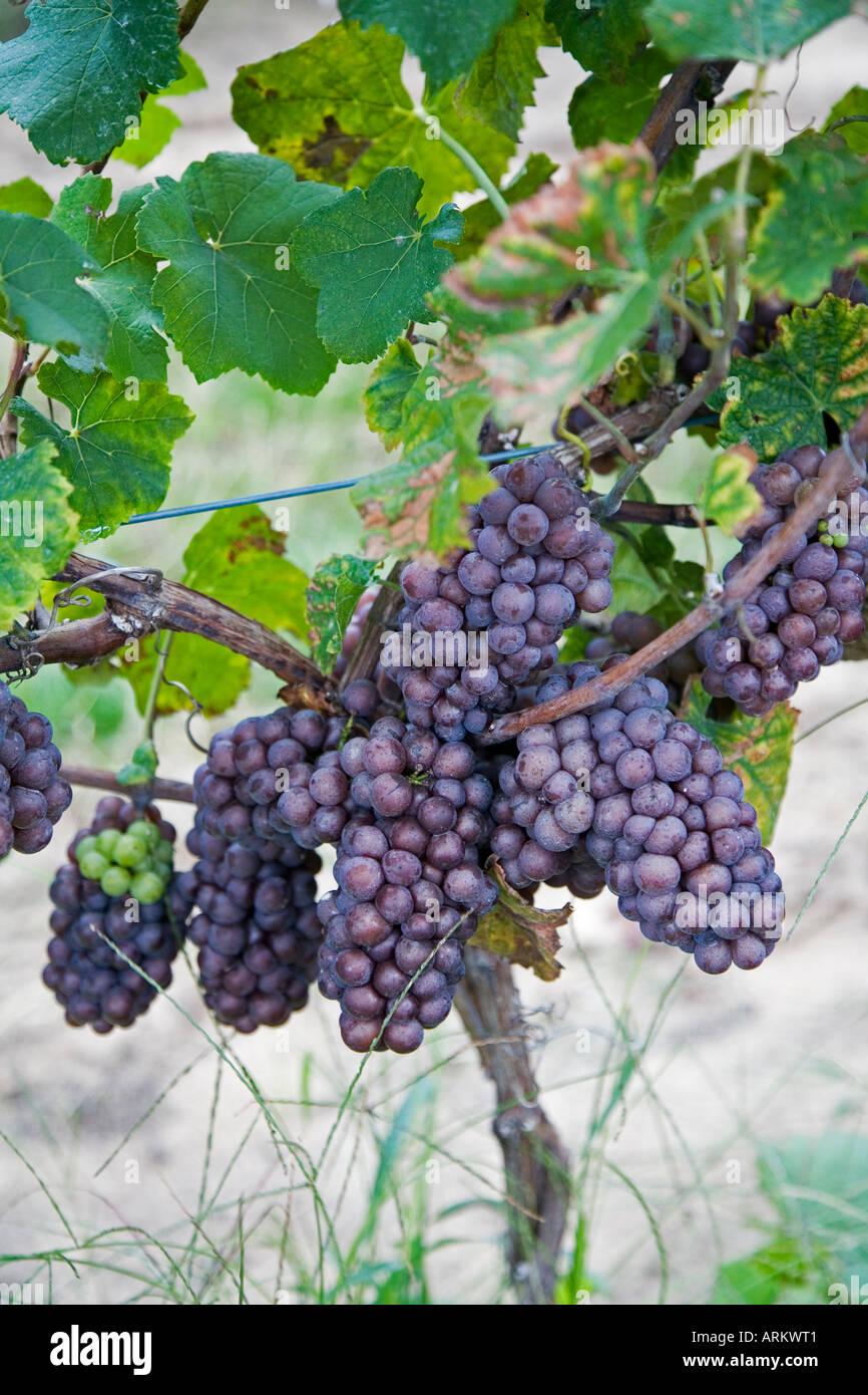 Coloma Michigan uvas Pinot gris en el Karma Vista bodega en el suroeste de Michigan Imagen De Stock