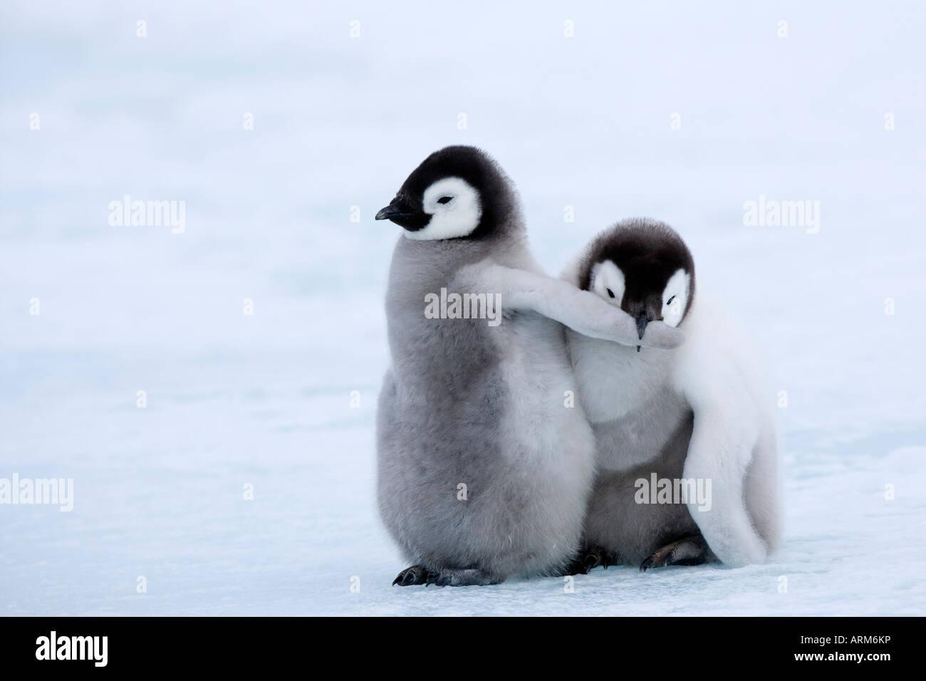 Los polluelos de pingüino emperador (Aptenodytes forsteri), la isla Snow Hill, Mar de Weddell, en la Antártida, Imagen De Stock