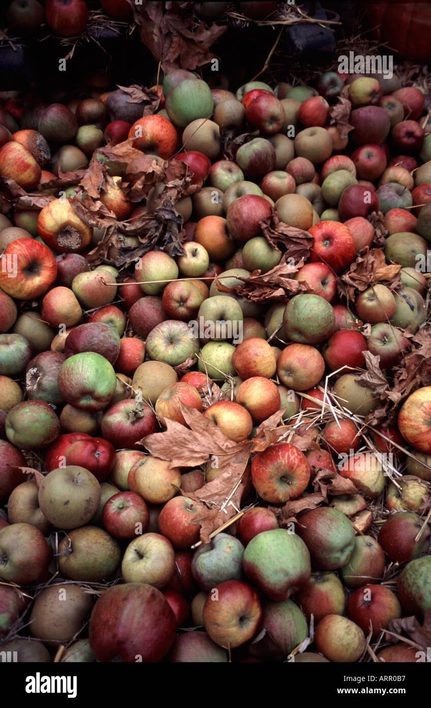 Montón de manzanas mezclados en una cosecha mostrar Kew Gardens Surrey, Inglaterra Foto de stock